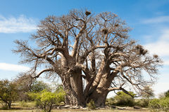 Free Baobab-Tree In Botswana Stock Photos - 23310323