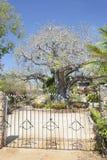 Baobab Tree in Kenya. Stock Images