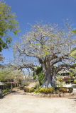 Baobab Tree in Kenya. Stock Image