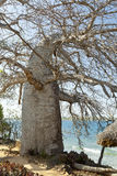 Baobab Tree in Kenya Royalty Free Stock Image