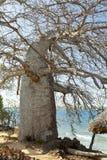 Baobab Tree in Kenya Stock Images