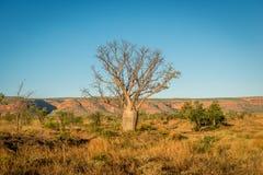 Baobab Tree, Kimberley Stock Photography
