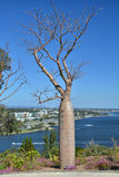 Baobab tree in Kings Park. Perth, Western Australia stock images