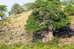Baobab Tree in Kruger National Park Royalty Free Stock Photo