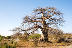 Baobab Tree on Kubu Island, Botswana. Baobab Tree on Kubu Island in Botswana Stock Images