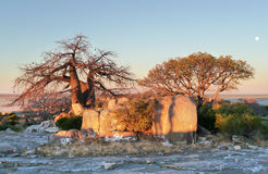Baobab tree at Kubu Island Royalty Free Stock Image