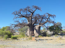 Baobab tree at Kubu Island Stock Photography