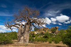 Baobab tree landscape. A stunning baobab tree photographed with a rocky backdrop and bright blue skies with puffy white clouds in South Africa's Mapungubwe stock image