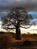 Baobab Tree Royalty Free Stock Photos