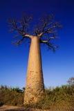 Baobab tree. Landscape, Madagascar Africa Stock Image