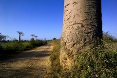 Baobab tree. Landscape, Madagascar Africa Royalty Free Stock Image