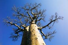 Baobab tree Stock Photography