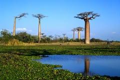 Baobab tree. Landscape, Madagascar Africa Royalty Free Stock Photos