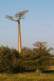 Baobab tree. Landscape, Madagascar Africa Stock Photo