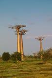 Baobab tree. Landscape, Madagascar Africa Royalty Free Stock Photo