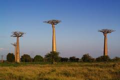 Baobab tree. Landscape, Madagascar Africa Stock Photography
