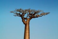 Baobab tree. Landscape, Madagascar Africa Royalty Free Stock Images