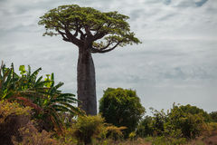 Baobab tree. Madagascar. Baobab tree with green leaves among the lush green small trees. Madagascar Royalty Free Stock Photography