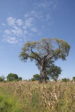 A Baobab tree, Malawi. A Baobab tree (Kremetart), Adansonia digitata, growing in a maize field in Malawi. The tree is silhoutted against a blue sky with cumulus Royalty Free Stock Photo