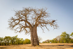Baobab Tree. Massive Baobab tree in Botswana, Africa royalty free stock images