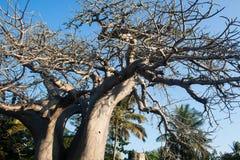 Baobab tree Stock Image