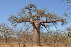 Baobab tree in Musina national park,South Africa Royalty Free Stock Photos