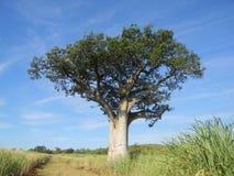 Baobab tree near a  cane field. Stock Photography