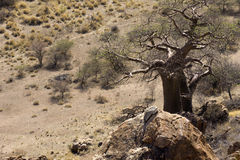 Baobab tree with nests Stock Image