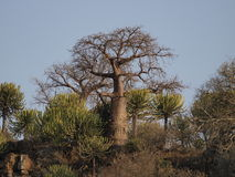 Baobab tree. On river bank in Botswana Stock Image