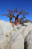 Baobab Tree Between the Rocks Stock Photography