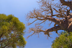 Baobab tree and savanna Stock Images