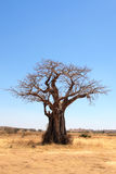 Baobab tree in savannah Stock Images