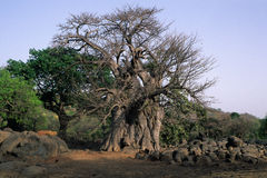 Baobab Tree .SENEGAL Royalty Free Stock Images