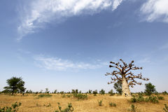 Baobab Tree in Senegal. Savannah under blue sky stock photos