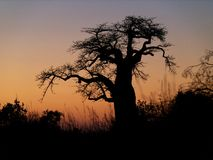 Baobab tree silhouette. Silhouette of baobab tree during African sunset Royalty Free Stock Images