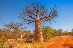 Baobab tree South Africa. Baobab tree also known as monkey bread trees, tabaldi or bottle trees, in Musina Nature Reserve, one of the largest collections of stock photography