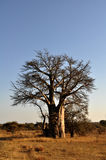 Baobab tree in South Africa Royalty Free Stock Image