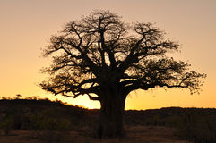 Baobab tree and sunset Royalty Free Stock Photo