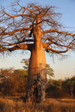 Baobab Tree. At Sunset in Botswana royalty free stock photos