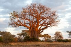 Baobab Tree in Tarangire NP Stock Image