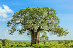 Baobab. Tree in Tarangire National Park in Tanzania. its enormous size. on blue sky Royalty Free Stock Images