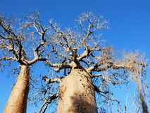 Baobab tree, trunk, branches with fruits and blue sky Royalty Free Stock Photography