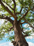 Baobab tree trunk, branches, green leaves with blue sky Royalty Free Stock Image
