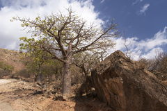 Baobab tree in Wadi Hanna, Oman. Baobab tree in Wadi Hanna, Dhofar mountains, Sultanate of Oman Royalty Free Stock Photo