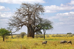 Baobab tree and wildebeest Royalty Free Stock Images