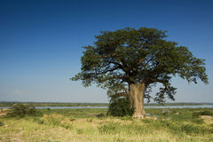 Baobab Tree, Zambezi River - Framed right. A typical common name is baobab. Other common names include boab, boaboa, bottle tree, upside-down tree, and monkey Royalty Free Stock Images