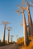 Baobab trees Stock Photography