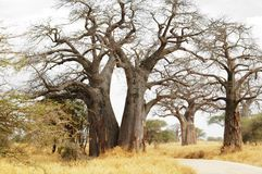Baobab trees. African Baobab trees in the middle of the way Stock Images