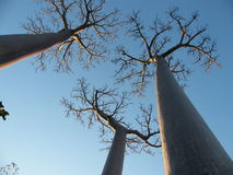 Baobab trees Royalty Free Stock Photography