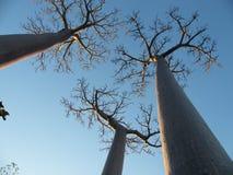 Baobab trees Royalty Free Stock Photography